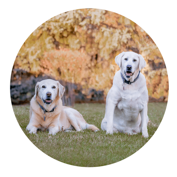 Smiling White and yellow labs sitting in Sioux Falls backyard
