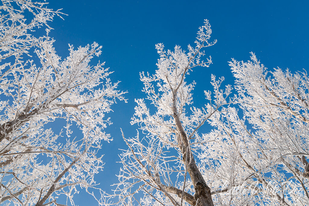 A picture looking up through trees with heavy white hoarfrost against a bright blue sky.