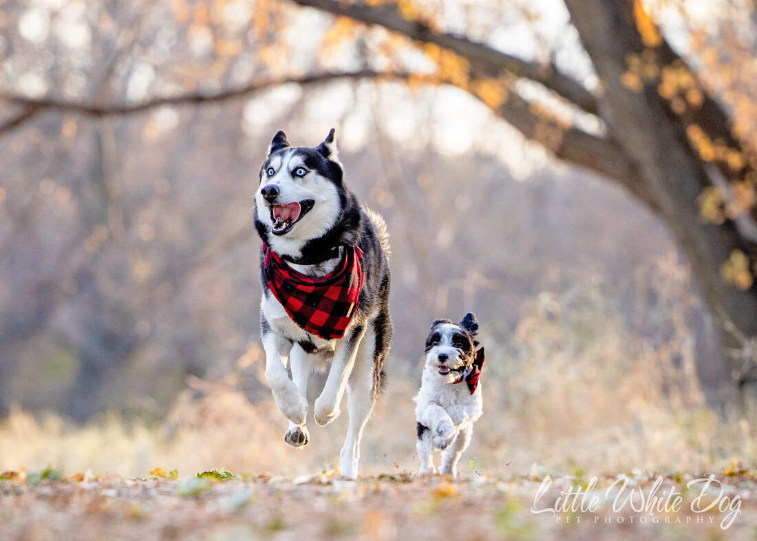 Husky and yorkie poo best friends running through the woods