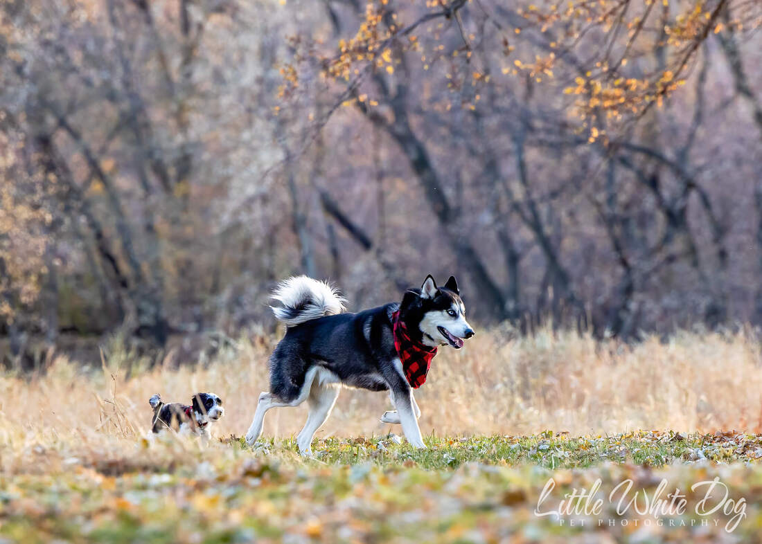 Yorkie poo puppy following husky through the woods in the fall
