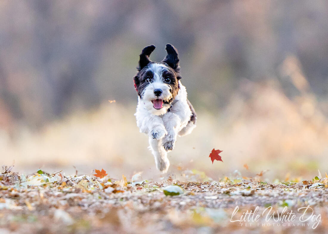 Yorkie poo running through leaves on a trail