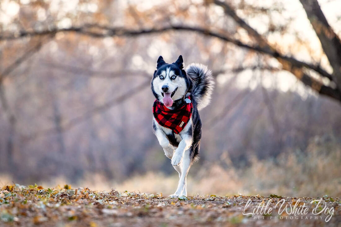 Husky running through wooded trail with red plaid bandana