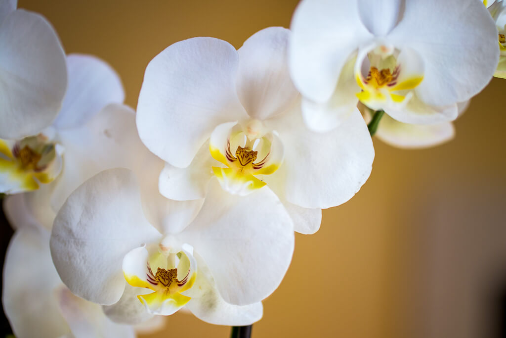 A macro picture image of a white orchid flower with yellow centers.