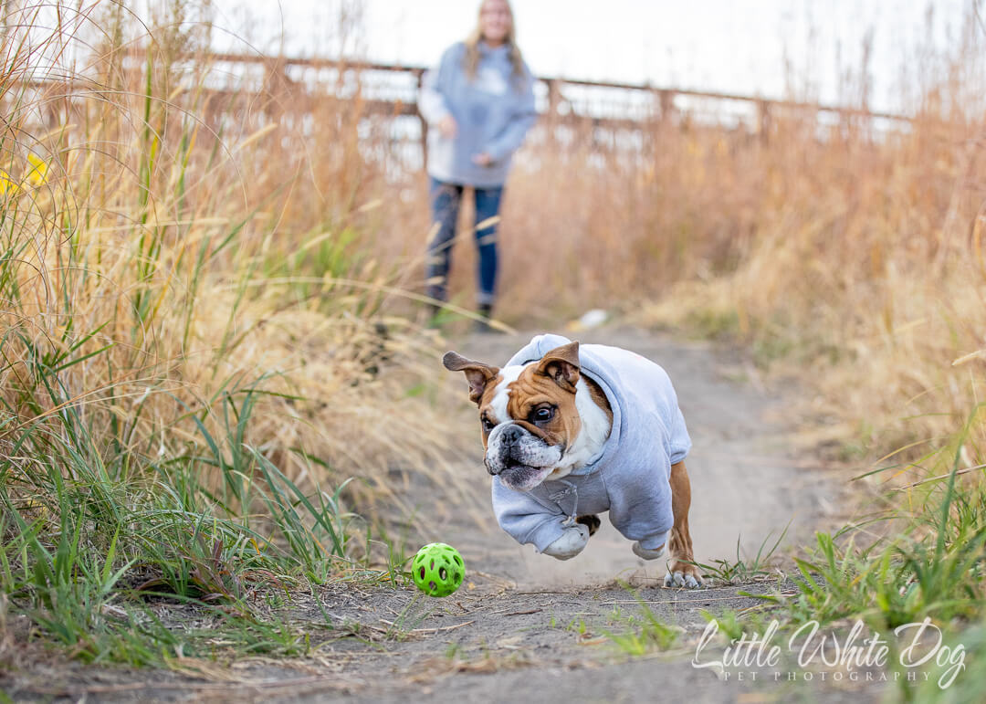 Bulldog in grey hoodie chasing a green ball