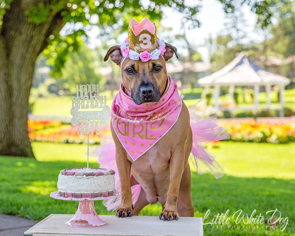 Pitbull celebrating her 3rd birthday in pink tutu, tiara, and birthday cake.