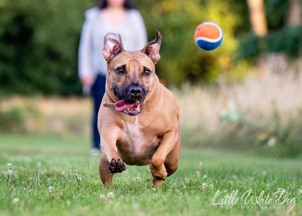 Pitbull chasing a blue and orange ball.
